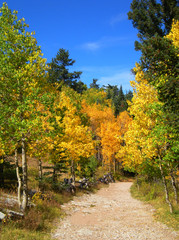 Golden Aspen Trees Along Mountain Hiking Trail in NM