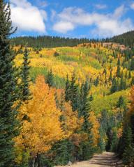 Colorful Fall Aspen Trees Along Mountain Hiking Trail