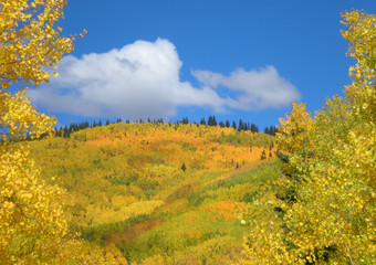 Mountainside Covered with Colorful Golden Fall Aspen Trees