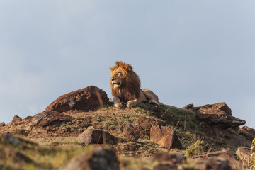 Lion in Nature