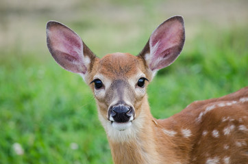 Photo sur Plexiglas Cerf Cute baby deer staring
