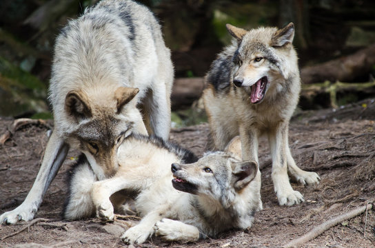 wolf family playing in forest