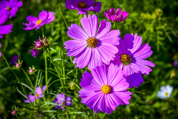 Colorful Cosmos flowers in cosmos field.