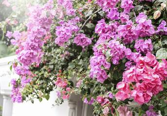 Home and garden concept of Bougainvillea or Paper flower