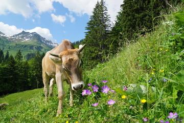 Kuh auf Weide, Blumenwiese im Gebirge