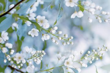 Gałęzie kwitnącej czeremchy, artystyczny wizerunek wiosny