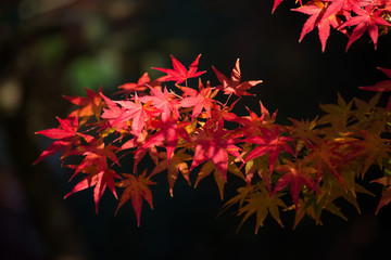 Maple leaves change color in autumn season