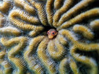 Spotjaw blenny fish, Acanthemblemaria rivasi, hidden in a coral hole, Caribbean sea, Bocas del Toro, Panama
