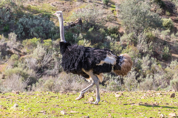 African Ostrich or Common ostrich in nature