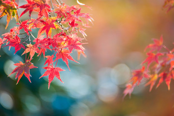 Maple leaves change color in autumn season
