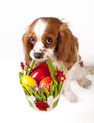 Easter eggs in basket with easter dog. Happy easter. Cavalier king charles spaniel holding easter egg basket on isolated white background.