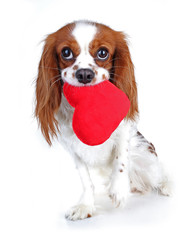 Valentines day photo. Dog with hear. Puppy with plush sof heart. Valentine's day spaniel. Puppy love. Cute king charles for every concept.