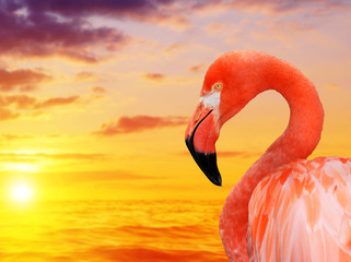 Aluminium Prints Flamingo Portrait of a flamingo at sunset.