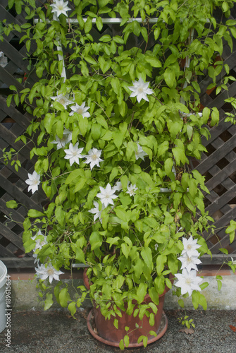 Big Climbing Plant With Beautiful White Flowers Stock Photo And