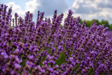 Garden Poster Lavender Fleurs de lavande en été.
