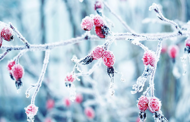 colorful beautiful branch with ripe red berries of wild rose covered with white frosty crystals of...