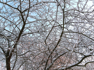 Hoarfrost on a plum tree branches.