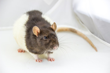 süße Ratte