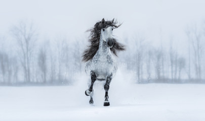 Winter cloudy landscape and runnig grey long-maned Andalusian stallion.