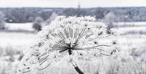Heracleum cow-bream hoarfrost winter