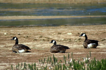 Canadian geese (Branta canadensis) from the back in Yellowstone National Park. With copyspace.