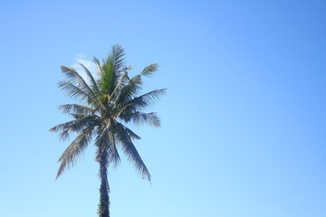 Coconuts tree on blue sky background