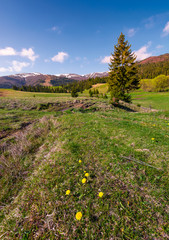 dandelions on grassy slopes in springtime. spruce forest at the foot of Borzhava mountain ridge with snowy tops in the distance under the blue sky with some clouds