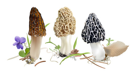 Morel mushrooms in natural environment.  Morchella esculenta, Morchella elata, Morchella  rufobrunnea. Realistic vector illustration on white background.