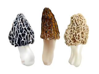 Morel mushrooms. Morchella esculenta, Morchella elata, Morchella  rufobrunnea. Realistic vector illustration on white background.