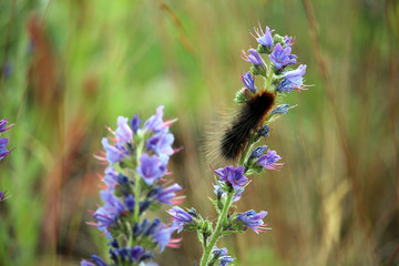 Black hairy caterpillar on a wild flower (blueweed or viper's bugloss).
