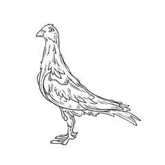 Beautiful dove in lines. Line art. Vector picture. Isolated on white background.