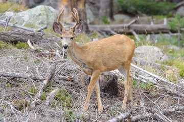 Wild Deer on the High Plains of Colorado Fresh Velvet on a Young Mule Deer Buck