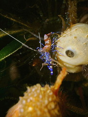 Colorful shrimp underwater, Periclimenes yucatanicus, commonly named spotted cleaner shrimp, Caribbean sea