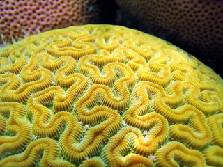 Close up view of Grooved Brain Coral, Caribbean sea, Bocas del Toro, Panama