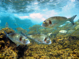 Gilt head bream fish underwater in the marine reserve of Cerbere-Banyuls, Mediterranean sea, Cote Vermeille, Roussillon, France