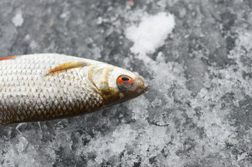 Fish lying in the snow after catching on winter fishing.