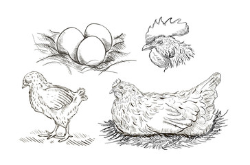 Vector chicken breeding hand drawn set.