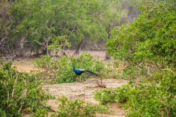 Wild male indian peacock walking in the jungle of Yala national park, Sri Lanka.