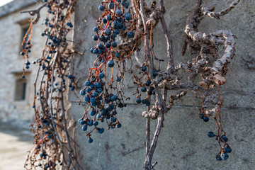 Dry vine grapes on ancient castle wall. Winery decoration, blue berries and branches without leaves
