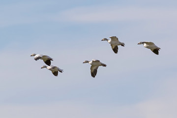 Birds snow geese landing at Salton Sea field
