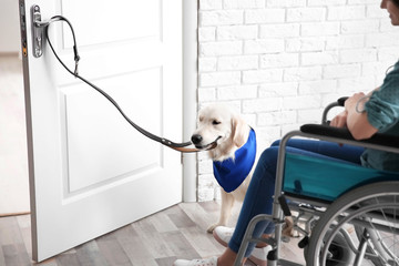 Cute service dog opening door for woman in wheelchair indoors