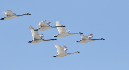 Trumpeter swans winter migration Wall mural