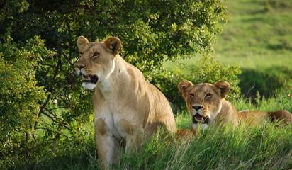 lion sisters 2
