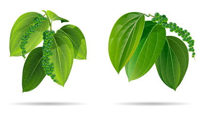 black pepper leaves green isolated on wihte background.