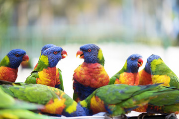 Group of lorikeets chatting together