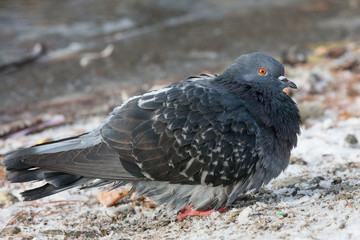 Pigeons bird close-up outside at winter