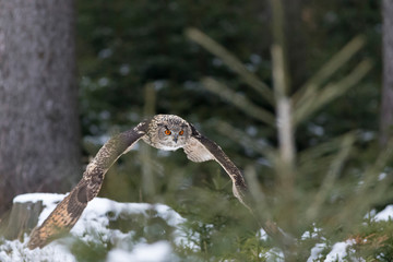 eagle owl flying in winter forest