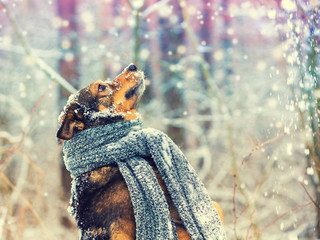 Portrait of a dog with the knitted scarf tied around the neck walking in a blizzard in the forest. Dog catching snowflakes