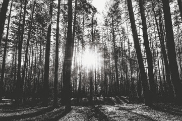 Sunrise in a pine forest in the autumn. Monochrome photo