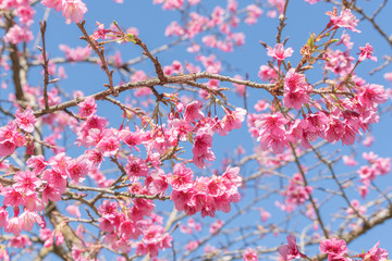 Photo Stands Candy pink Sakura blooming background.